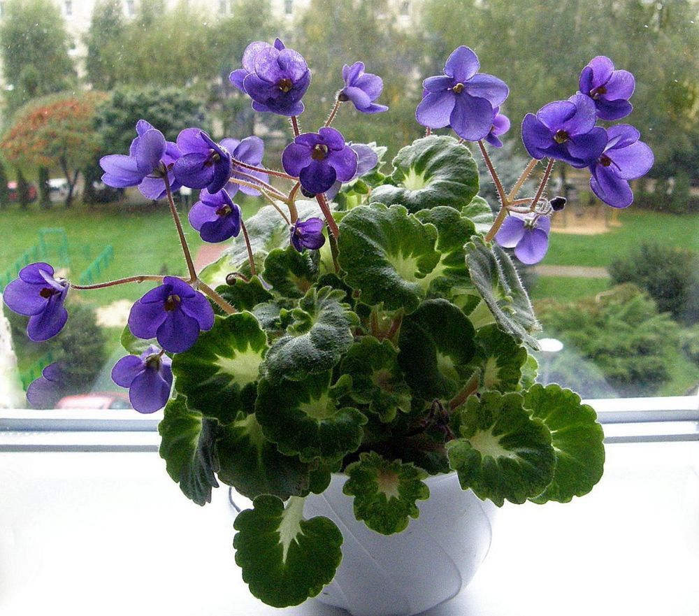 African Violet Painted Silk Plant Https Www Houseplant411 Houseplant