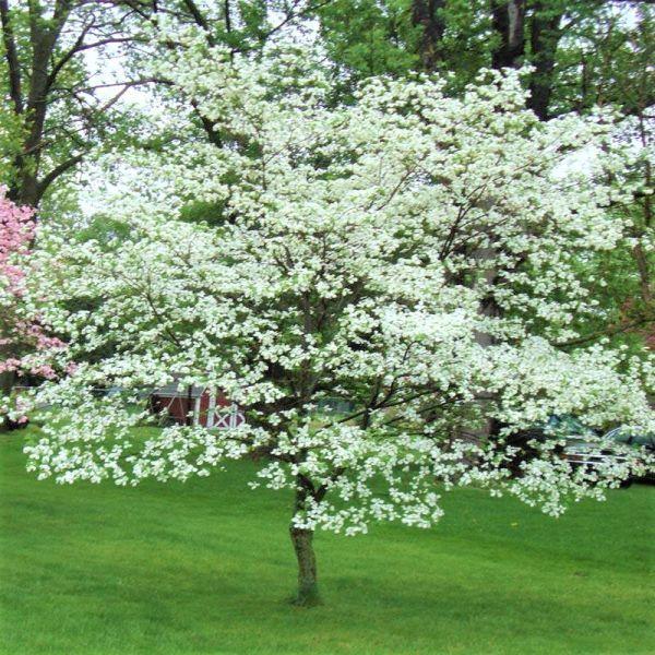 White Dogwood Savor Your Thyme Dogwood tree