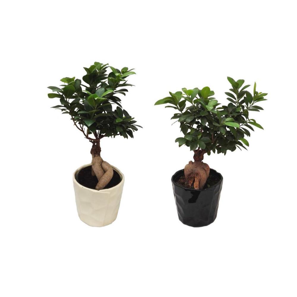 Bonsai Ficus Ginseng Mix 40 Cm Kwiaty Doniczkowe W Atrakcyjnej Cenie W Sklepach Leroy Merlin Bonsai Ficus Bonsai Ficus