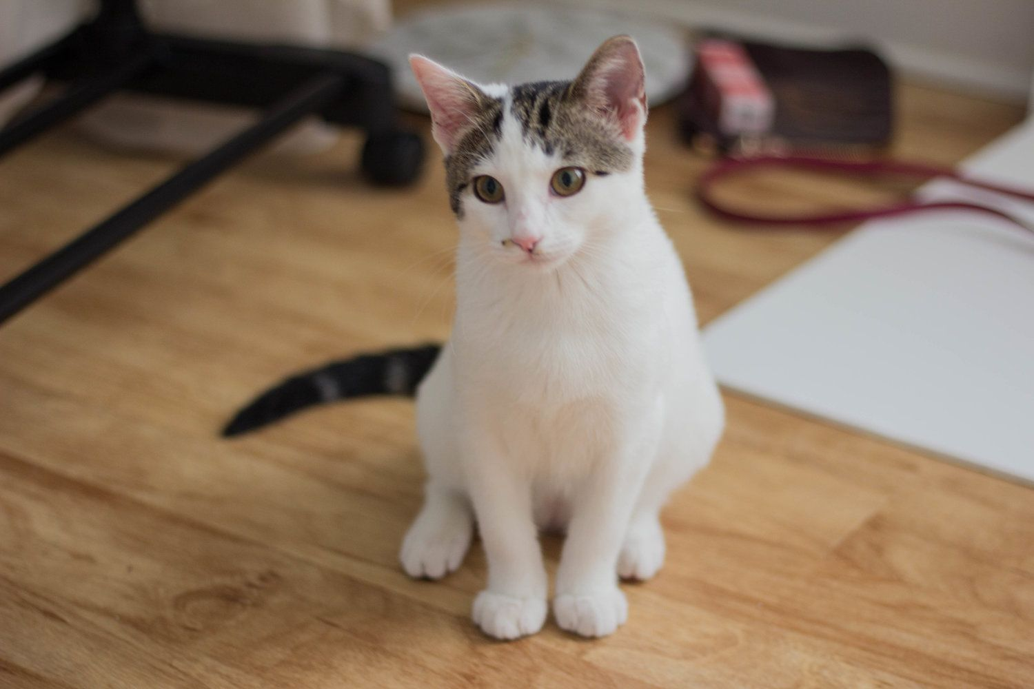 How Much Does A Cat Actually Cost Cat Adoption Tips Kitten