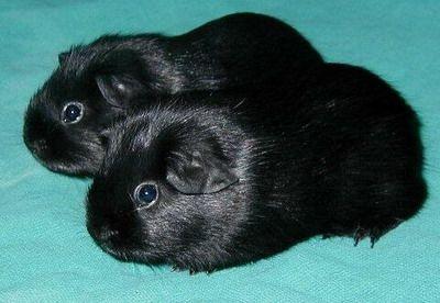 Black Self Coloured Guinea Pig