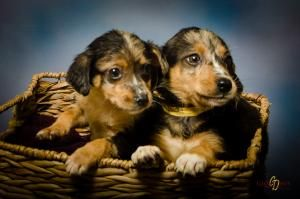 Catahoula Beagle Pups Is An Adoptable Catahoula Leopard Dog Dog In