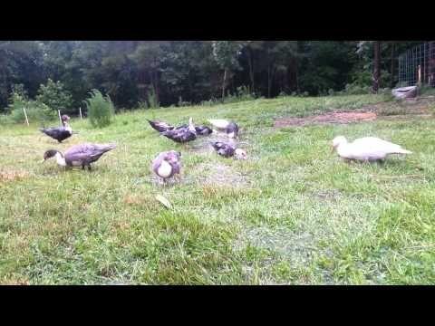 Happy Muscovy Ducks in the Rain   YouTube Videos from J&J