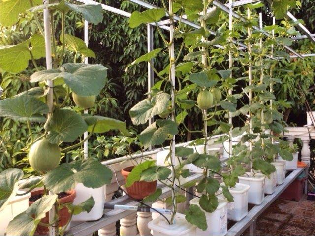 Ekebun: June 2014 Melon Hydroponic #melon #hydroponic #hidroponik ...