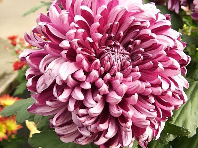 Hanakotoba The Japanese Language Of Flowers Chrysanthemum Plant Easy Perennials Chrysanthemum Plant Gardens