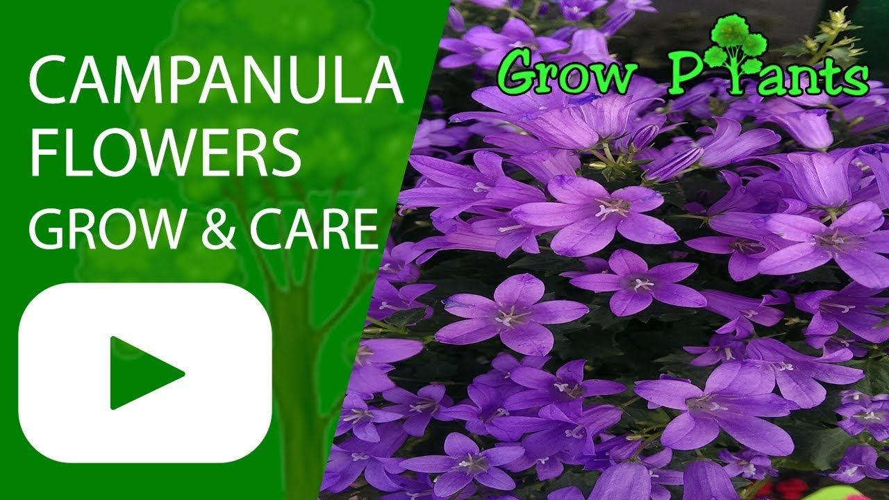 Campanula Flowers Plant Growing And Care Plant Information Climate Hardiness Zone Uses Growth Speed Water Requiremen Petunia Plant Plants Petunias