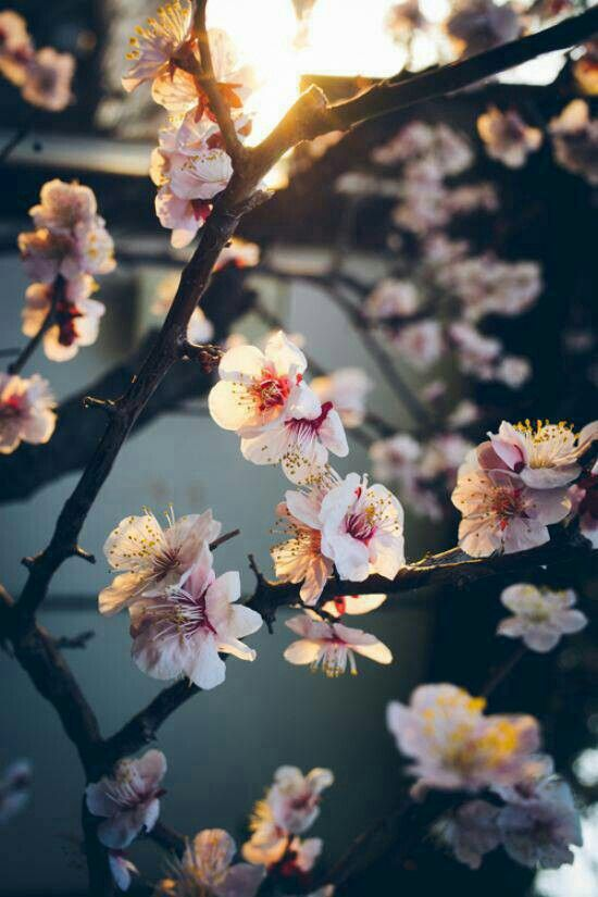 Cheery Blossoms Flower Wallpaper Beautiful Wallpapers Cute
