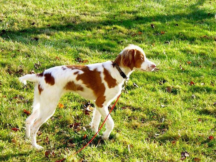When I was 10 a Brittany Spaniel was being kicked by one