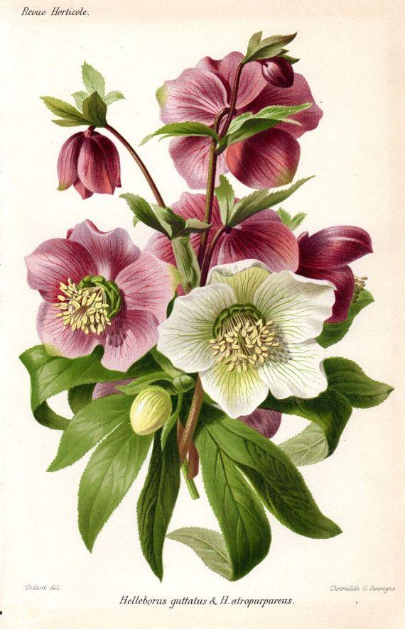1883 elleboro viola bianco antico botanico stampa francese for Elleboro bianco