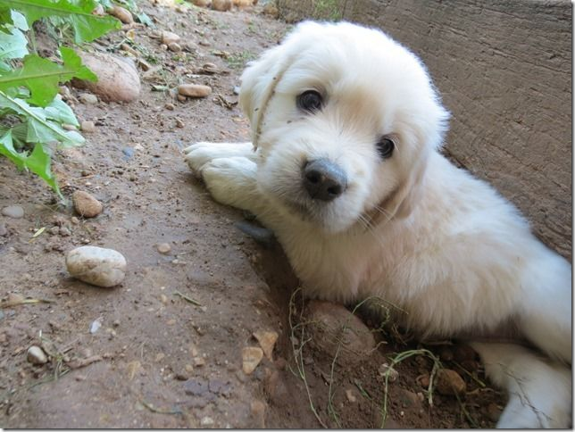 Golden Retriever Puppy With All European Bloodlines We Are