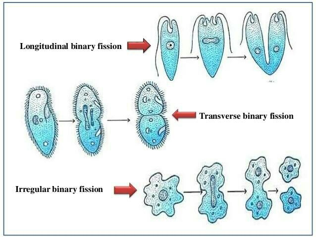 Binary Fission Biology Notes Mitosis Binary Binary division worksheet with answers