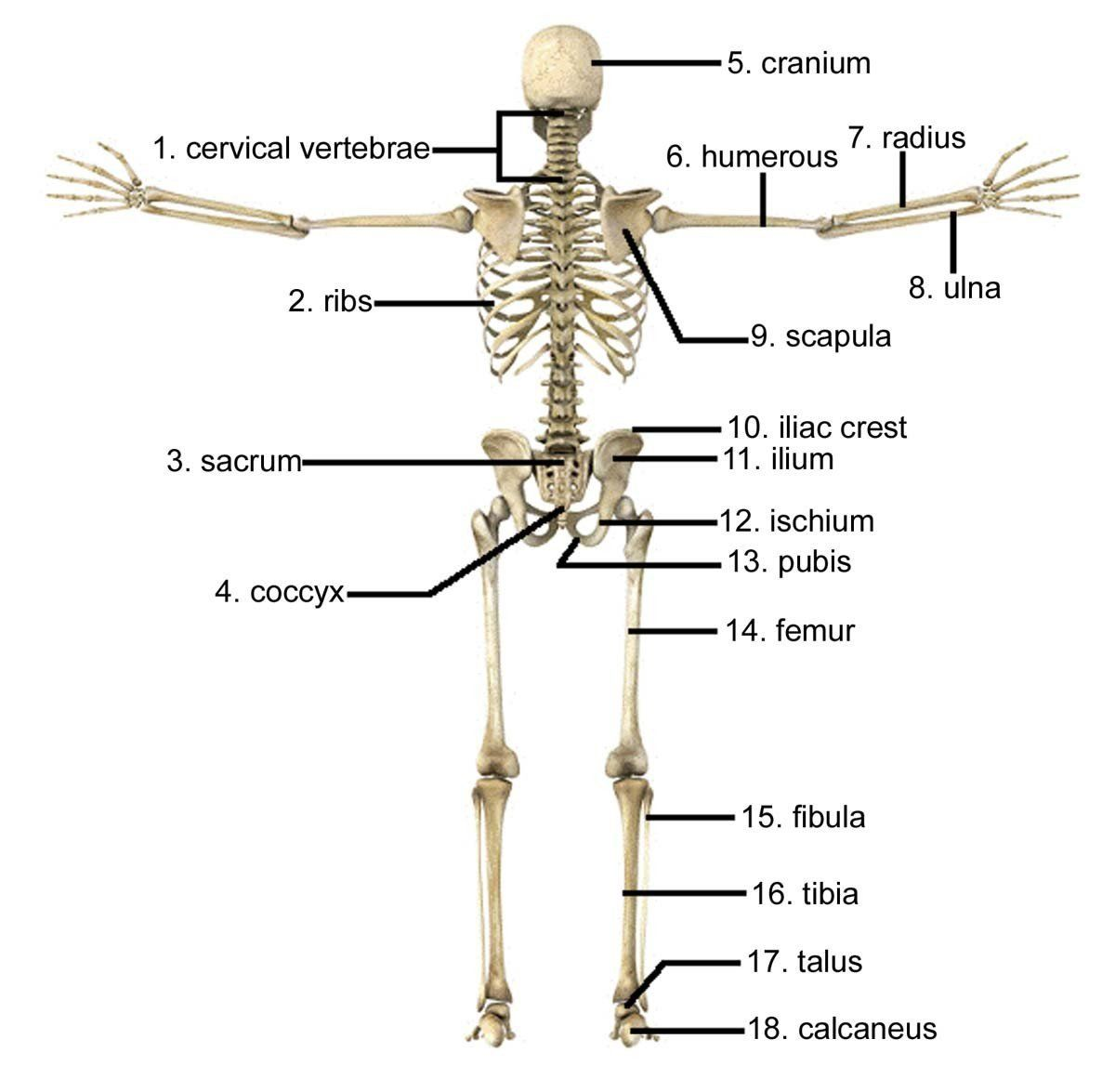 Labeling The Skeleton Worksheet Axial Skeleton Labeling Worksheets Human Skeletal System Skeletal System Body Diagram