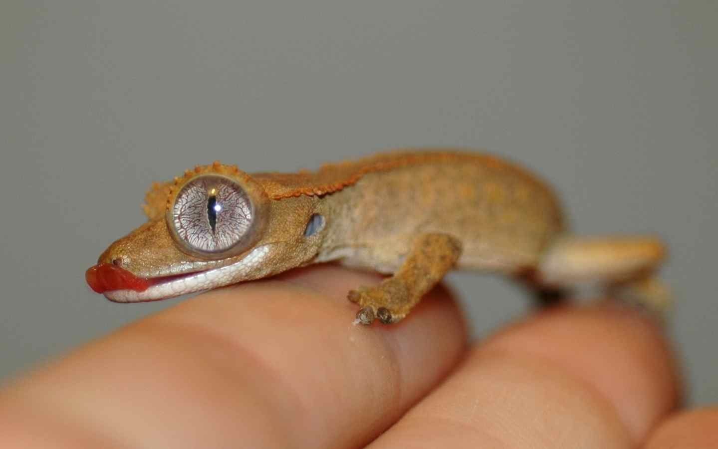 Gecko | May\'s way-too-big eye. She also lost some toes in a bad shed ...