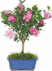 Camellia Bonsai Tree for $24  pickup at Walmart #LavaHot http://www.lavahotdeals.com/us/cheap/camellia-bonsai-tree-24-pickup-walmart/126059