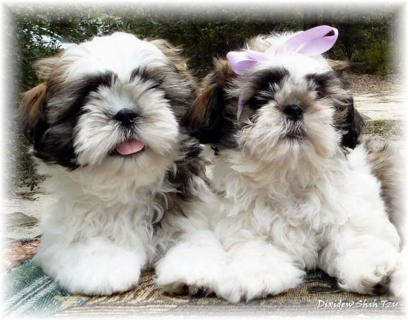 Gold White Boy Girl Alabama Official Shih Tzu Puppies For Sale By
