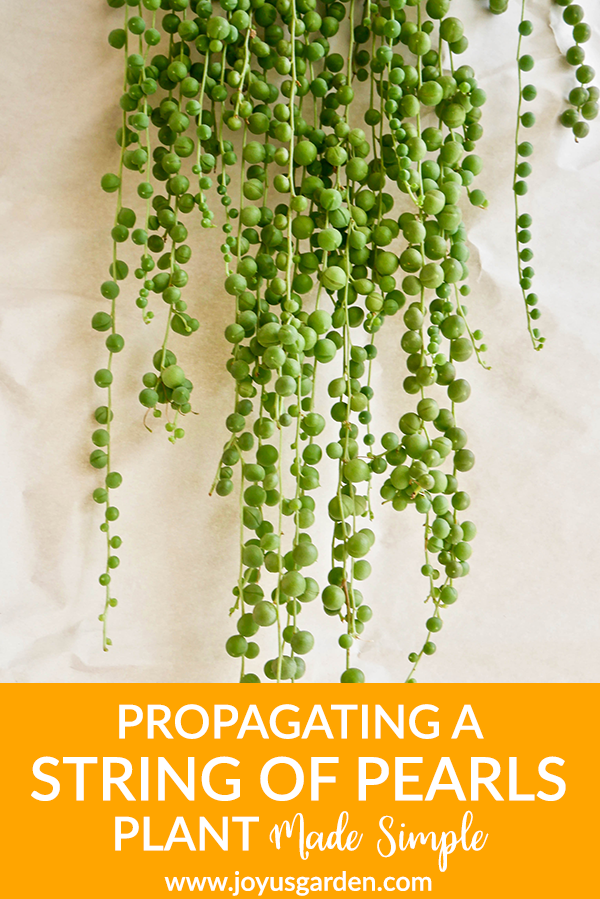Propagating A String Of Pearls Plant Made Simple is part of Hanging succulents, Hanging plants, Succulent landscape design, String of pearls, Propagating succulents, Succulents - String of Pearls is a unique hanging plant  Mine was getting long & needed pruning  Propagating a String Pearls plant is easy  Watch the video & you'll see