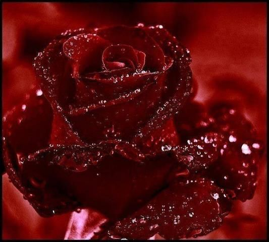 wet and red rose
