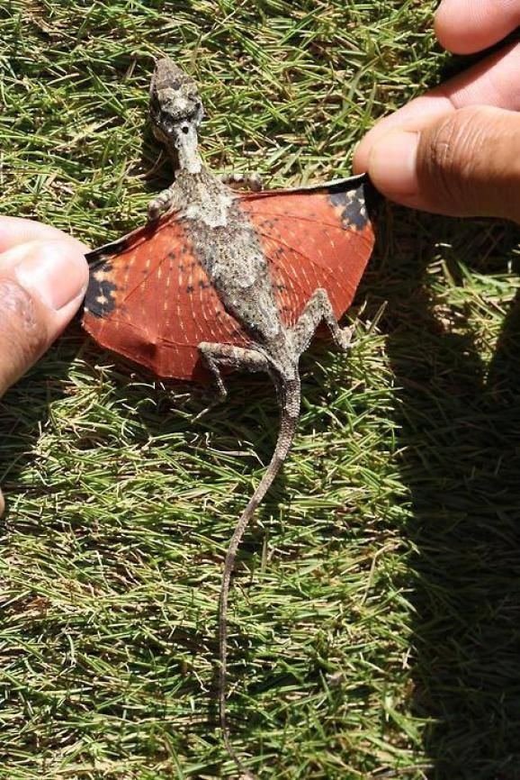 """Tiny dragon discovered in Indonesia \\ Draco volans, or the Flying Dragon, is a member of the genus of gliding lizards Draco. It can spread out folds of skin attached to its movable ribs to form """"wings"""" that it uses to glide from tree to tree over distances upwards of 8 metres (25 feet).The flying dragon can reach lengths as long as 19 – 23 cm. It feeds on arboreal ants and termites."""