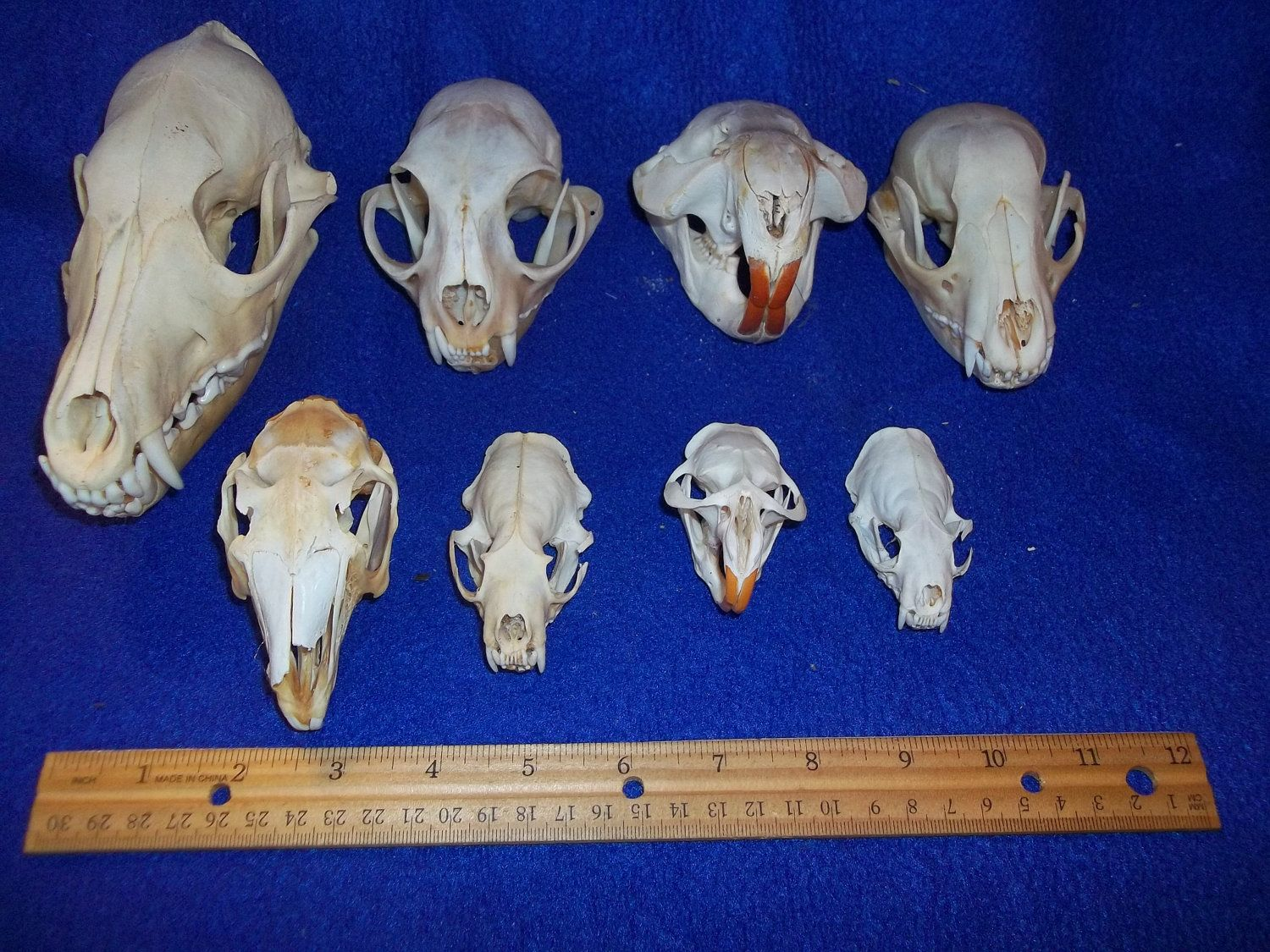 An English Red Fox Skull And Jaw Bones By Naturescurios On Etsy Fox Skull Jaw Bone Skull