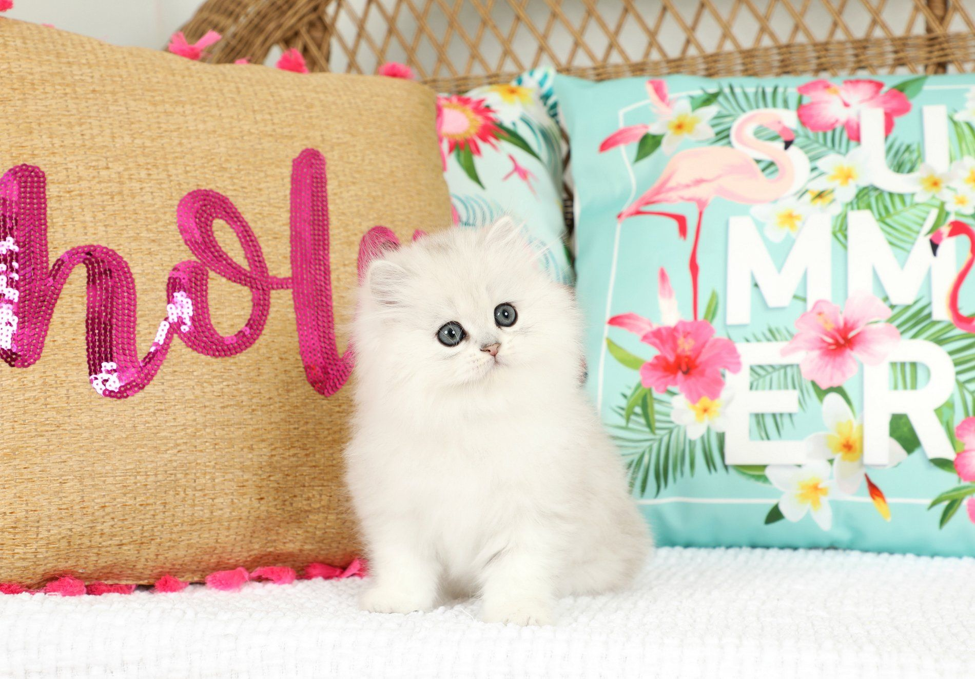 Silver Persian Kittens For Sale Persian kittens for sale