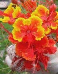 Øvrige Blomster – Side 7 – Bjarne's frø og planter