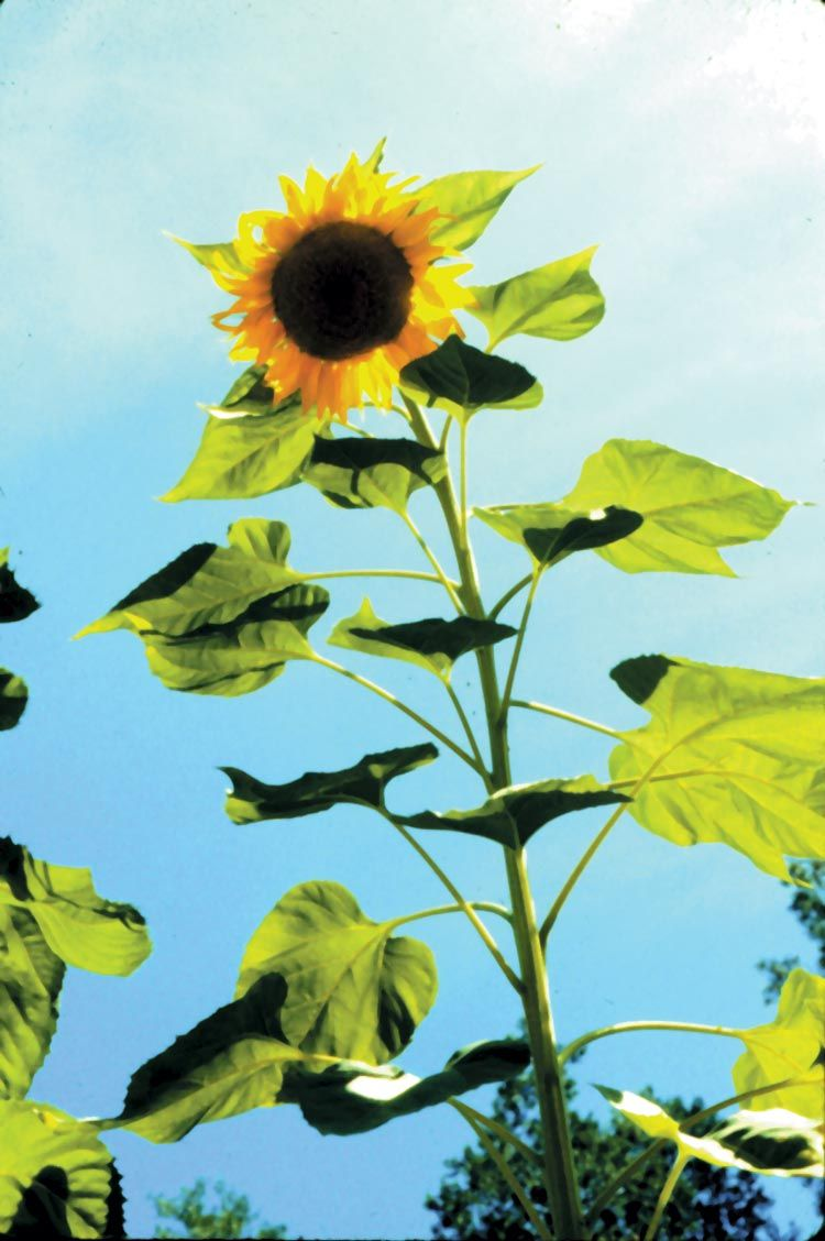 Sunflower Plant Large Jpg 750 1 128 Pixels With Images Sunflowers Background Small Garden Inspiration Planting Sunflowers