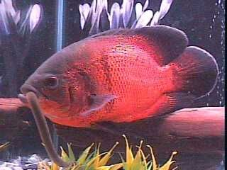Aquariums With Red Oscar Fish Color Pattern Variations Oscar Red Oscar Tiger Oscar Albino Oscar Etc Oscar Fish Aquarium Fish Cichlid Fish