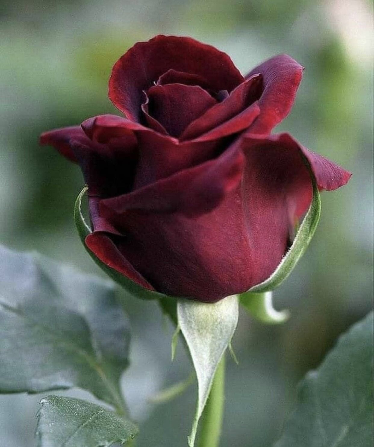 Flower love in 2020 rose flower pictures beautiful red