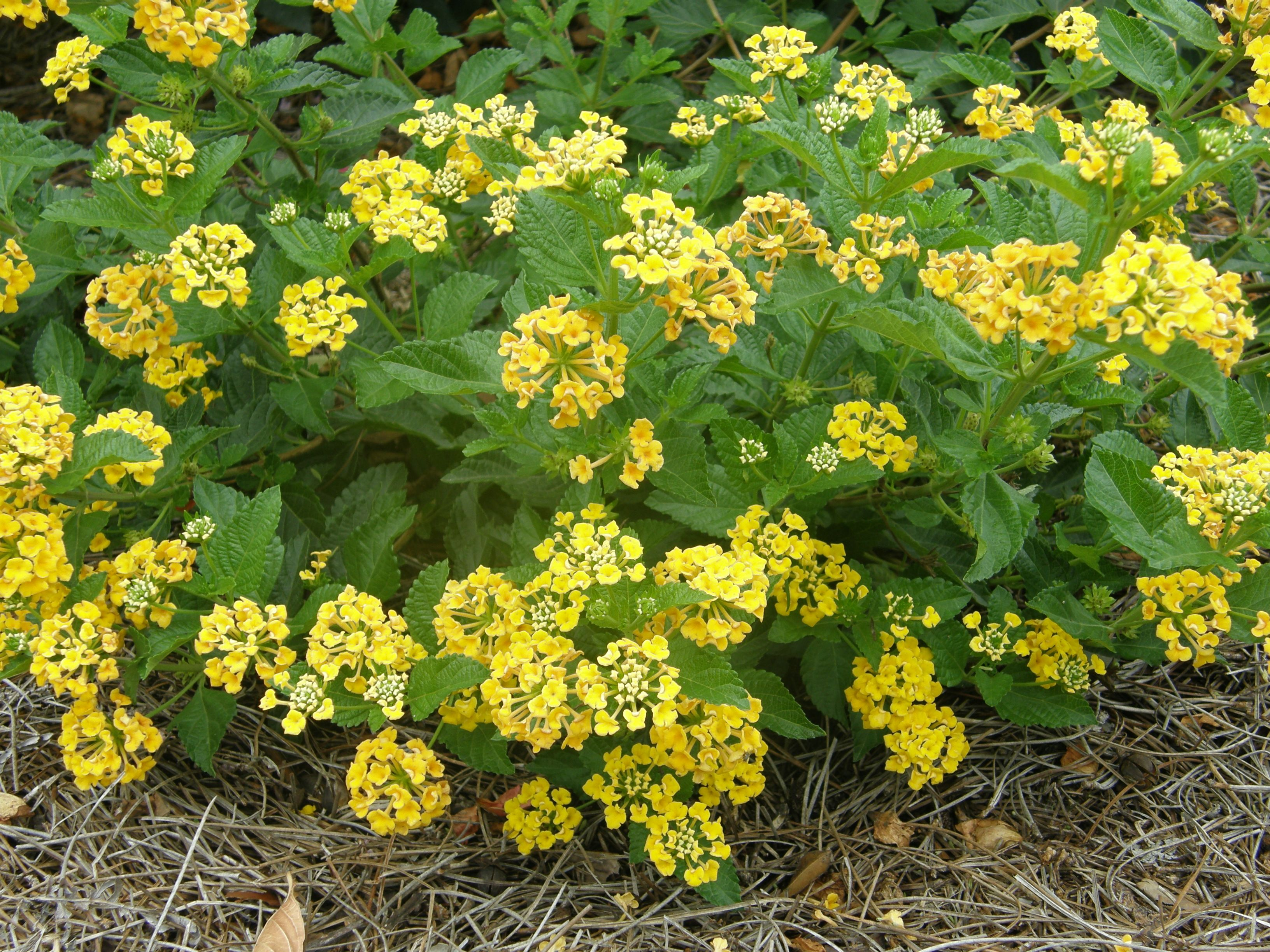 Lantana Colorful And Drought Tolerant Lantana Drought Tolerant Lawn And Garden