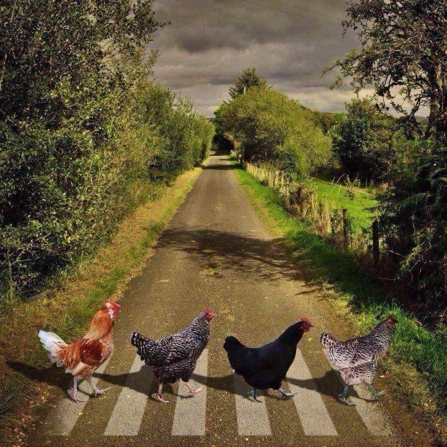 law abiding chickens using the crosswalk so cute via animals