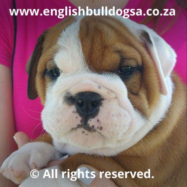 Bulldog Owners Picture Gallery English Bulldog South Africa