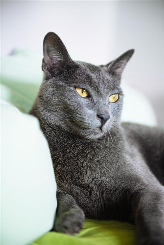 Russian Blue Cat Russian Blue Cat Personality Cat Personalities Russian Cat