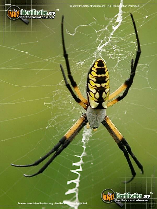 Black And Yellow Garden Spider Garden Spider Insects Insect