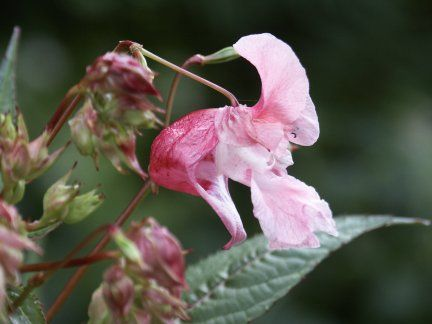 Indian Touch-Me-Not or Himalayan Impatiens/Balsam - Impatiens glandulifera