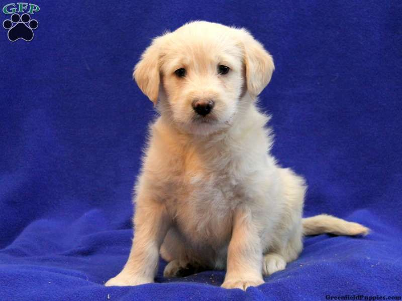 Buster peekapoo puppy for sale in pennsylvania