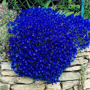 Flower Color Is Same As Shown In The Picture When Selecting Number In The Color Section Product Type B Perennial Ground Cover Flowers Perennials Ground Cover