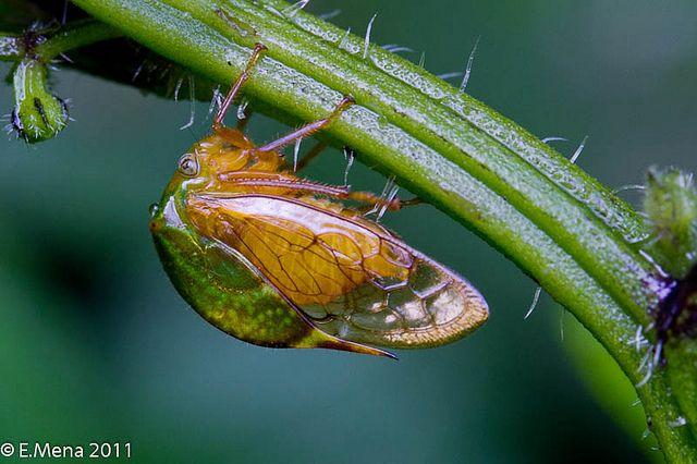 Membranacido Treehopper By Eduardo Mena Foto