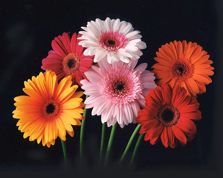 Gerbera Daisy Color Chart Of 2012 Gerbera Flower Gerbera Daisy Colors Pretty Flowers
