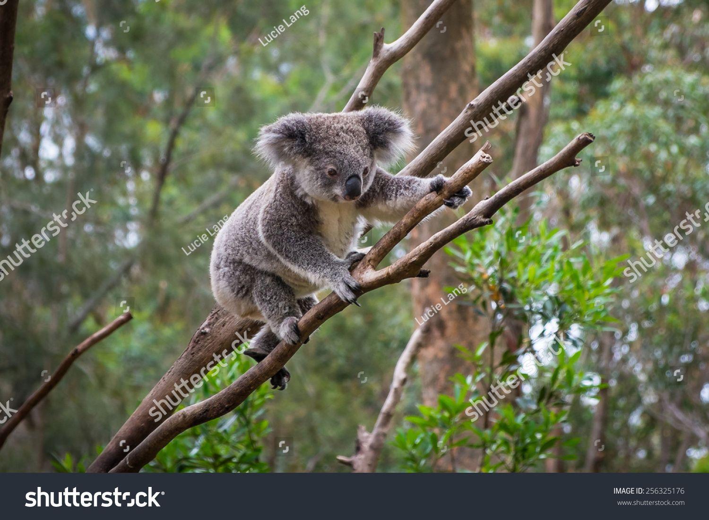 A wild Koala climbing a tree. soft focus Australia