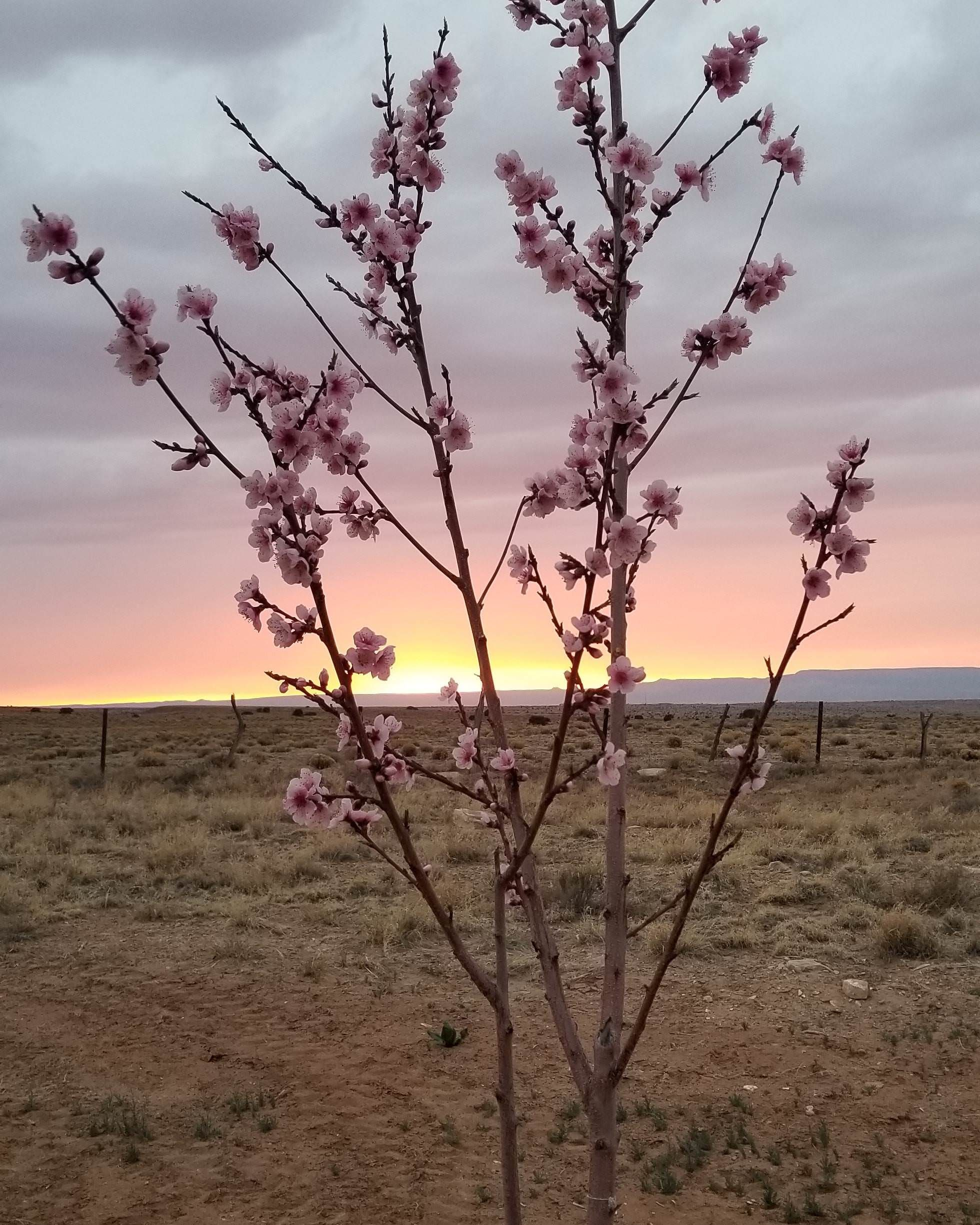 Greetings from the navajo nation heres my peach tree in full bloom greetings from the navajo nation heres my peach tree in full bloom at sunset m4hsunfo