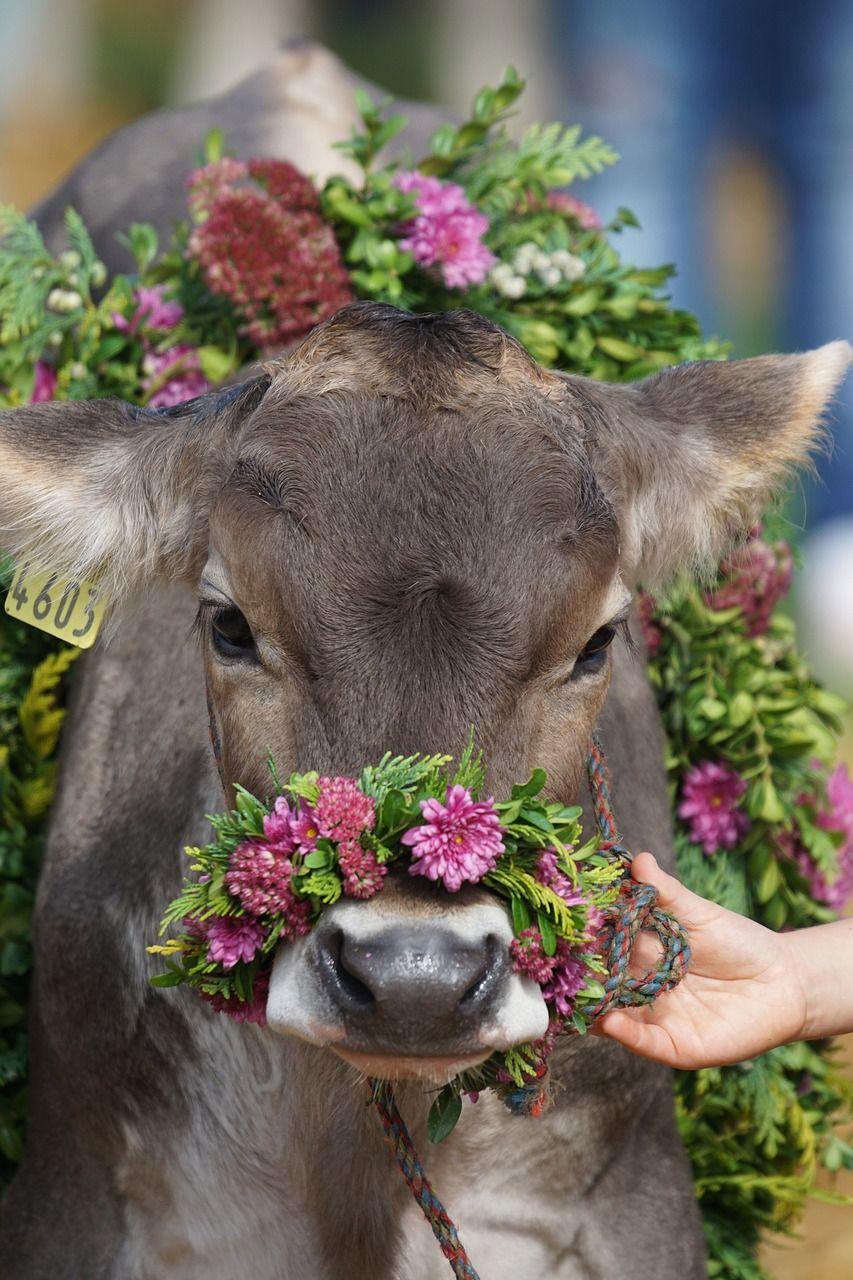 Almabtrieb in der Schweiz (c) pixabay Süße kühe, Lustige