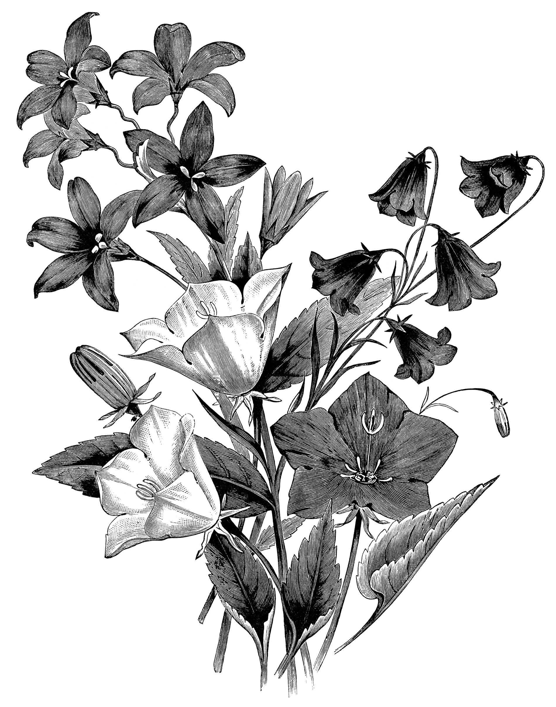 Campanula flower, vintage botanical engraving, black and white ...