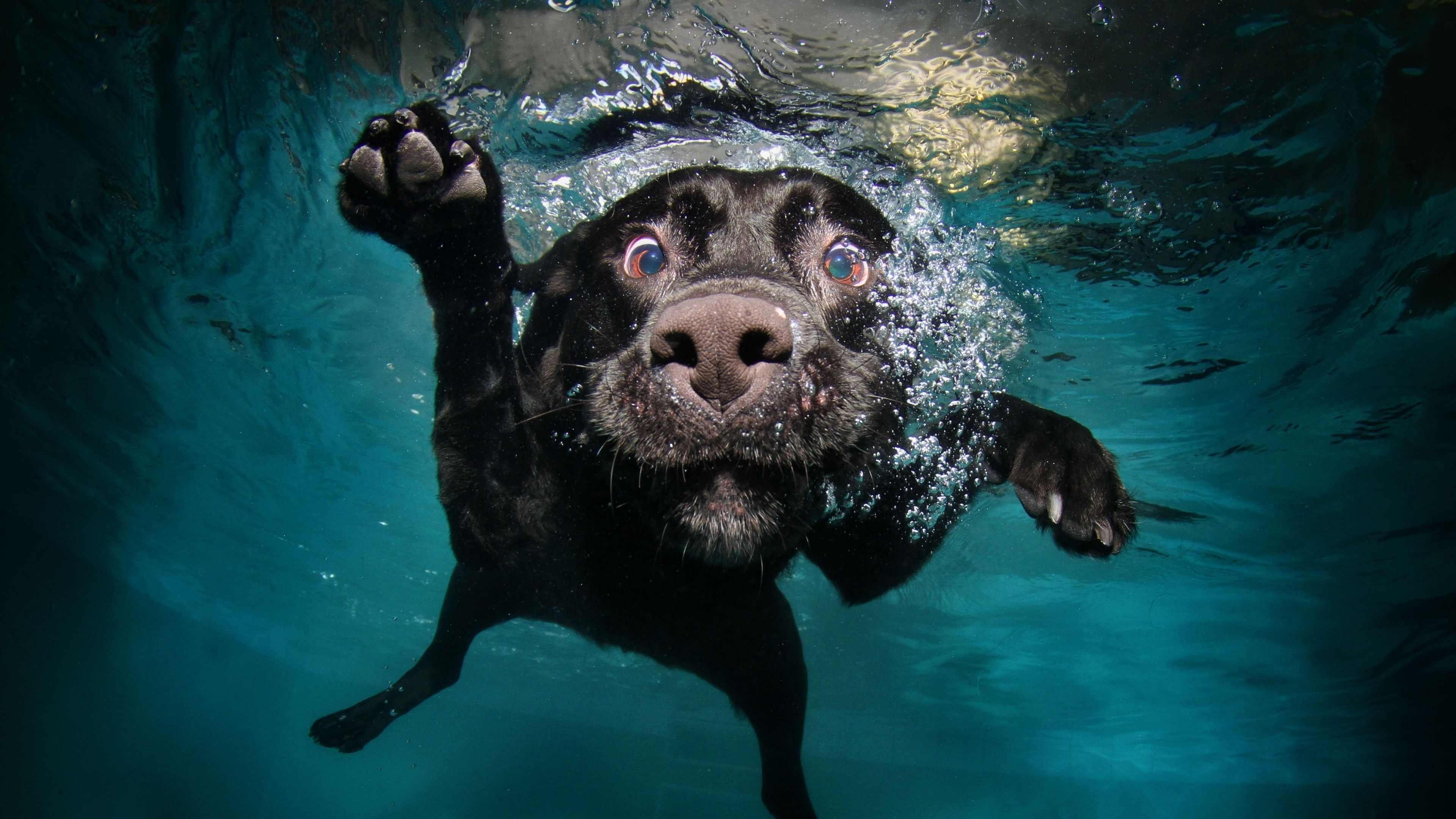 Download Wallpaper 3840x2160 Dog Black Underwater Swimming Water 4k Ultra Hd Hd Background Underwater Dogs Dog Photos Dog Swimming