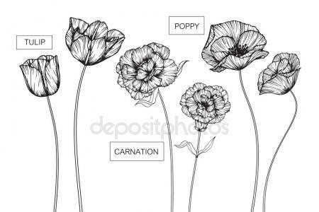 Tulipanes, flores de clavel y amapola dibujo y bosquejo ...