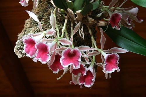 Trichopilia x ramonensis