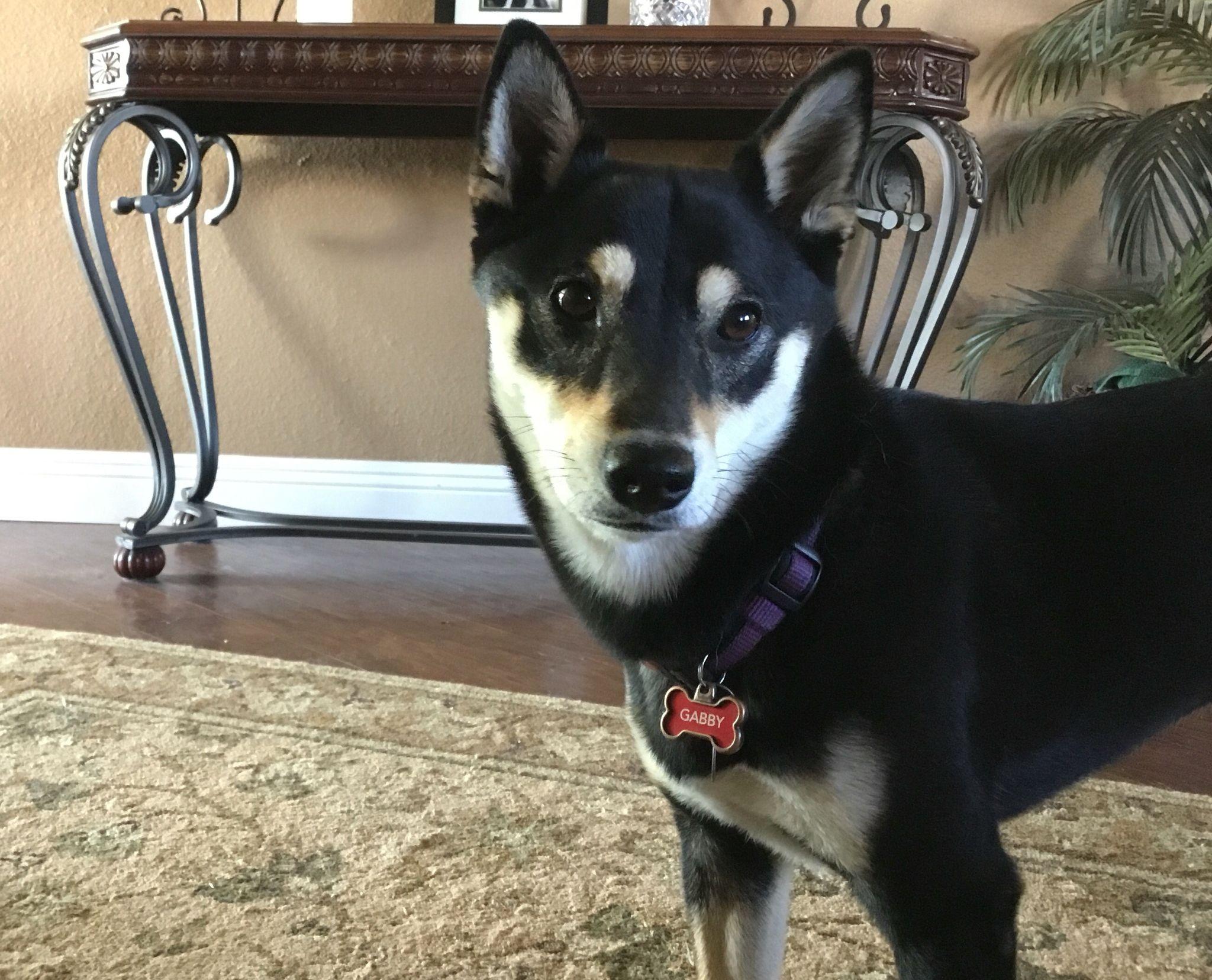 Black N Tan Shiba Shiba Inu Dog Pretty Girl Shiba Inu Dogs Pets