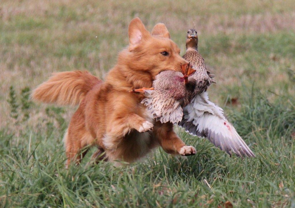 Novia Scotia Duck Tolling Retriever Nova Scotia Duck Tolling Retriever Retriever Puppy Big Puppies