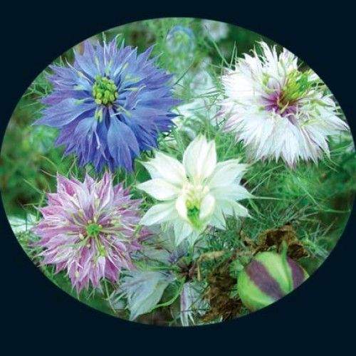 2 50 For A Packet Of 200 Heirloom Seeds Love In A Mist Mixed Colors Buy Like 5 10 And Separate Into Self Flower Seeds Flowers Heirloom Seeds