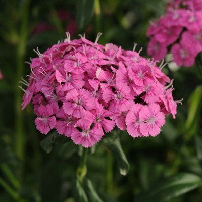 Dianthus Jolt Pink F1 Plants Pink Dianthus Dianthus Care