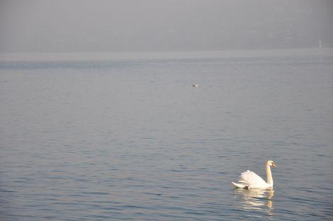 Swan and the lake. Magic. Fotografía de/ por Rocío Pastor Eugenio. WOMANWORD More about Geneva's Lake #travel with WOMANWORD #geneva #switzerland  Pictures by Rocío Pastor Eugenio. All Rights Reserved